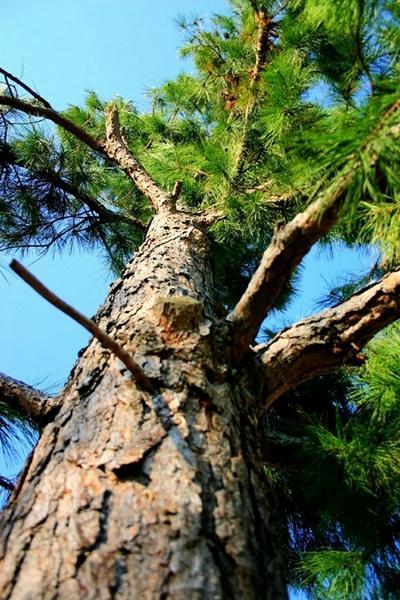 Pinus Silvestrys